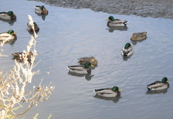 green-headed ducks